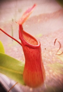 pitcher-plant-photo